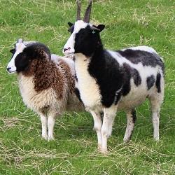Rare breed sheep birkenhill farm fordyce banff