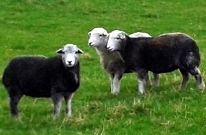 Herdwick ewes