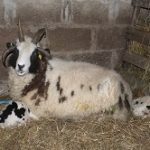 lambing at birkenhill farm, banff