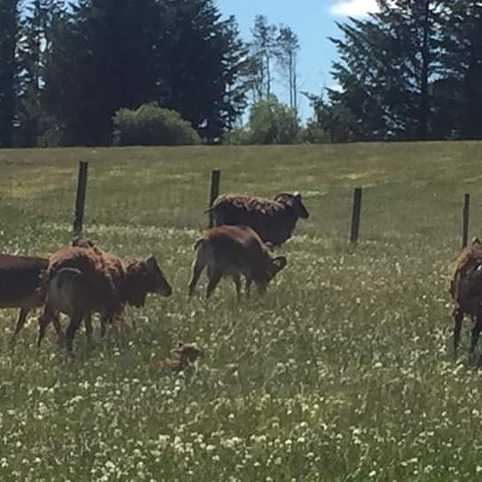 Soay sheep grazing in the sunshine
