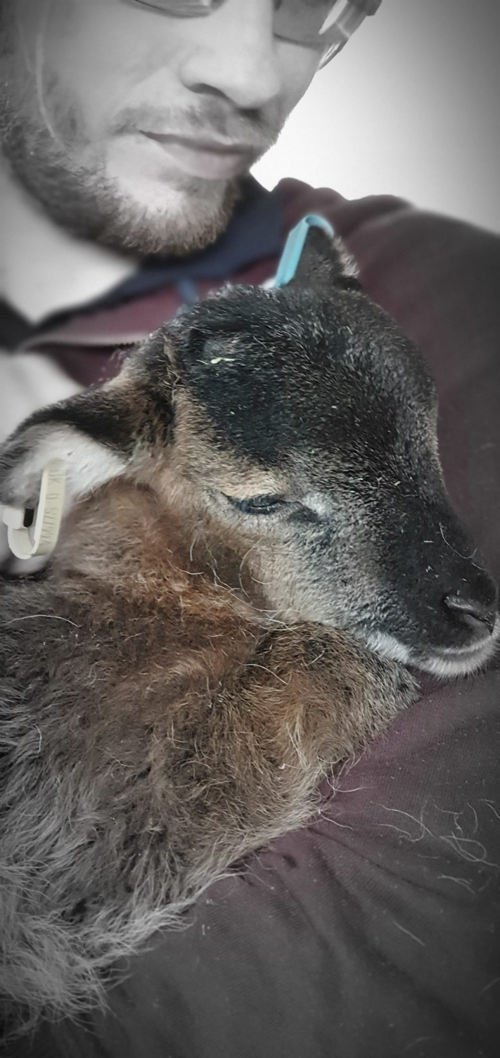 Soay ewe lamb enjoying a cuddle before going to sleep
