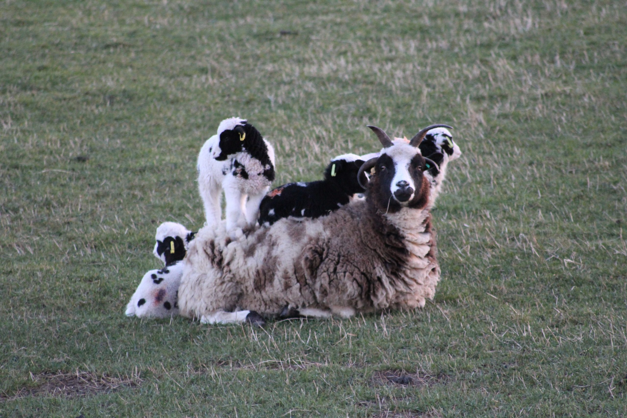 Ewe with lambs climbing on her
